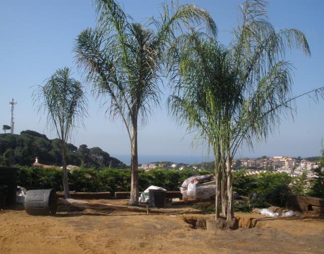 plantacion de palmeras